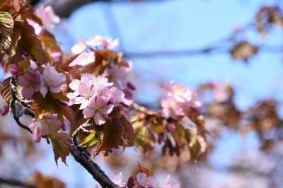 桜を活用したイベントの開催を目指します。
