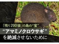 絶滅危惧種アマミノクロウサギを守るための環境保全活動にご協力ください!