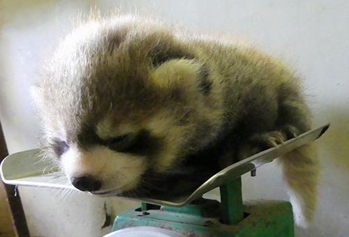 新しい命が誕生!日本一小さな西山動物園、赤ちゃん&お母さんたちが心地よい環境で過ごせるようにしたい!