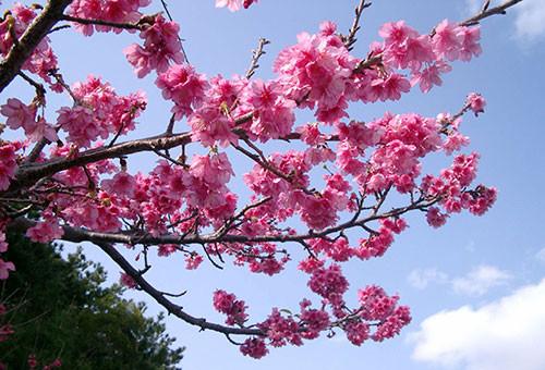 日本一早い桜まつりで知られる、もとぶ八重岳で満開に咲く桜の風景を後世へ残したい!