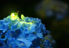 ほたると自然を守り育てるため~日本の中心から希望の光を~