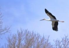 【ラムサール条約湿地】渡良瀬遊水地にもっと多くのコウノトリを定着させたい!~コウノトリ生息地環境整備プロジェクト~