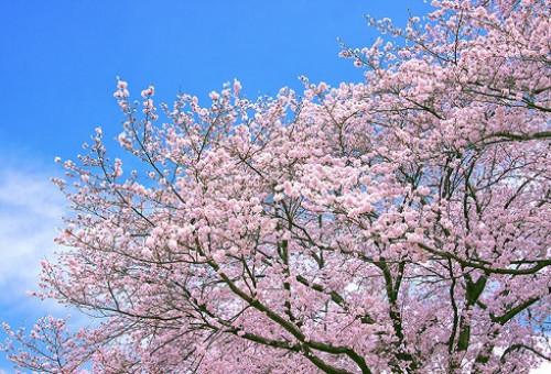 甦れ!「桜の木」復活プロジェクト ~老木化や害虫の被害により全滅してしまったふれあい広場の「桜の木」をよみがえらせたい~