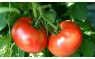 お待たせしました!日南トマトをお届けします。