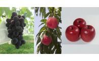 【献上桃の郷桑折町】 季節の果物セット等受付中