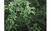 葉取らずサンふじの生育状況です。