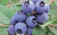 【限定300】無農薬・有機栽培の完熟ブルーベリー