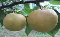 肥沃な土地で育ったあくと(肥土)梨8種類をご用意
