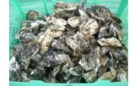 大村湾「殻付き牡蠣(加熱用)」を4月上旬まで増量