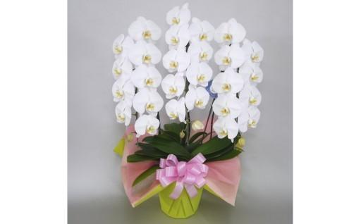 最高級の贈り物に、胡蝶蘭はいかがですか