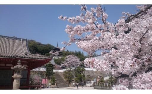 ただ今、桜が満開です