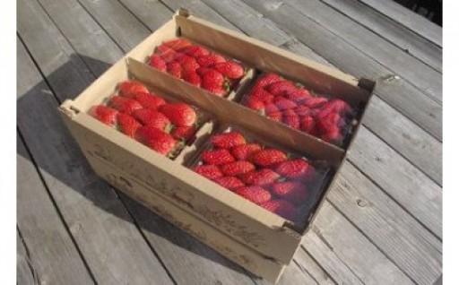 のらくら農園の新鮮いちご・たっぷりセット