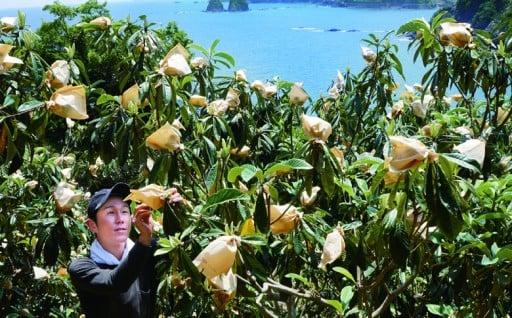 ヤマデ農園 びわ8パック 平成30年収穫分