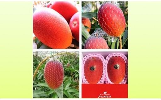 あの古谷農園の宮崎産完熟マンゴー赤秀2玉