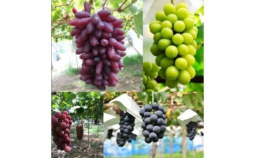 人気の葡萄園が贈る「こだわりのぶどう」をご自宅で