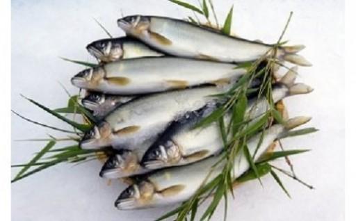 近江鮎(鮮魚1kg・約10尾入り)