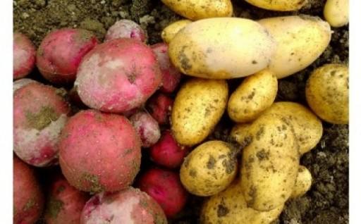 農薬化学肥料不使用!旬のじゃがいも3種類食べ比べ
