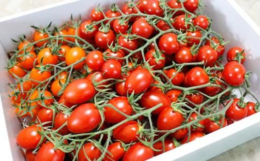 まるでブドウのような房成りの完熟濃厚トマト!