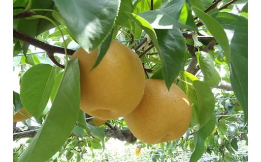 【東近江市】あいとう梨!地元が愛する自慢の特産品