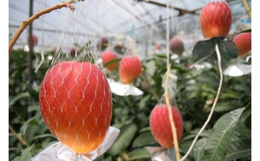 【こだわりの鉢植え】完熟マンゴー「鉢入り娘」