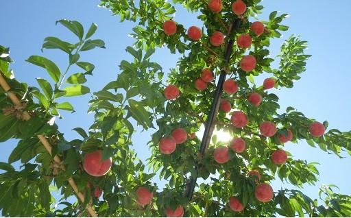 しっかりとした歯ざわりが感じられる食感最高の桃