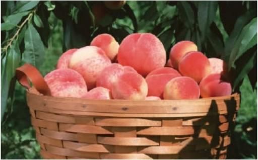 しっかりした果肉と甘さが自慢の『桃』受付開始!