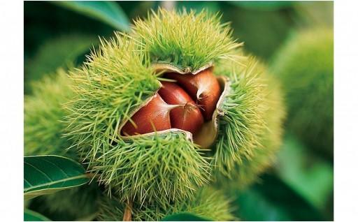 収穫の秋に向けて。。。球磨栗(2kg)