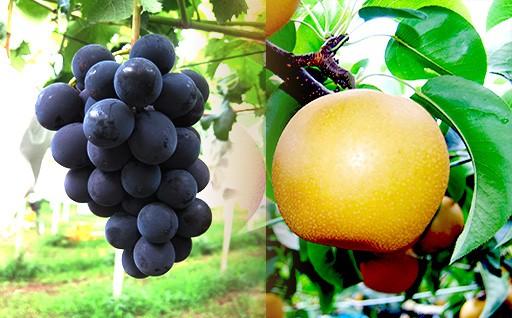 在庫残少!しろいの果実!しろいの梨・葡萄!!