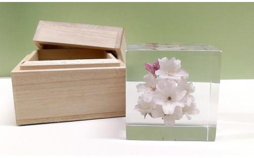 区内水辺に咲く桜に関する返礼品です(9/1から)