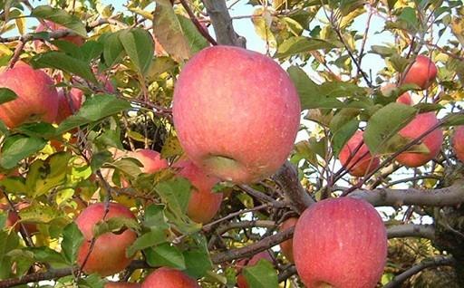 朝倉市産のりんごを、朝採り発送します