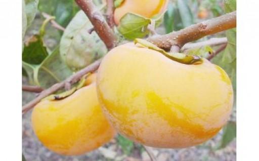【間もなく締切】鳥取の柿「輝太郎(きたろう)」