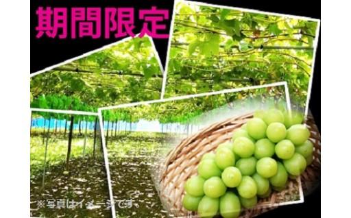 ☆9月26日限定☆たかぎ村のシャインマスカット!