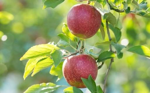 しもせりんご村のりんご5kg
