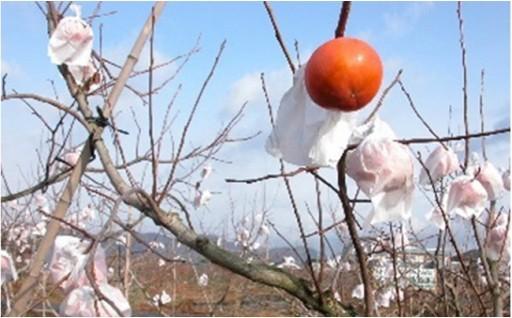 お待たせしました♪町自慢の富有柿の受付始めました