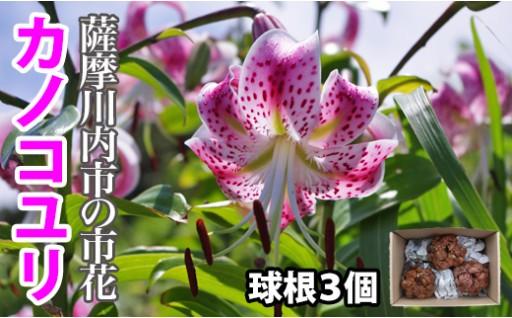 初登場!薩摩川内市の市花「カノコユリ球根3個」