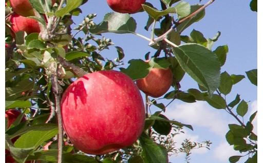 実りの秋!みずみずしい自慢のりんご 予約受付中