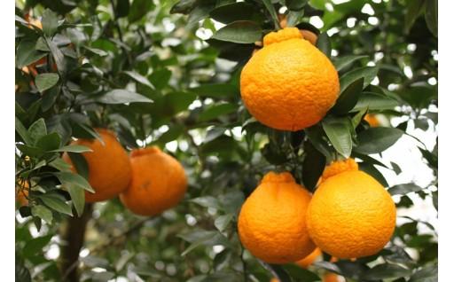 いろいろな柑橘が育ってます。