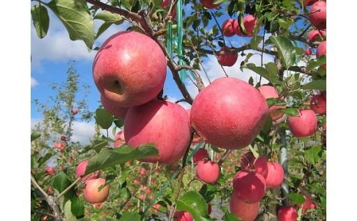 平成30年産青森県平川市産りんご