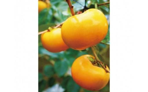 大人気!秋の味覚、太秋柿をお届け!【数量限定】
