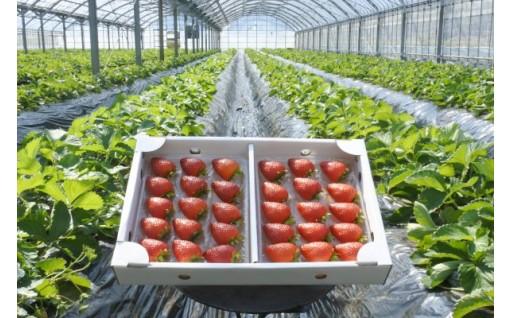 南阿蘇村名産の苺の受付を開始致しました。