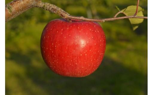 二戸産りんご。受付終了間近です。