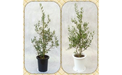 プロが選ぶ観葉植物平和のシンボル オリーブ8号鉢