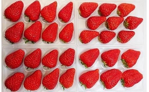 掛川産・厳選イチゴ紅ほっぺ270g×4P送ります