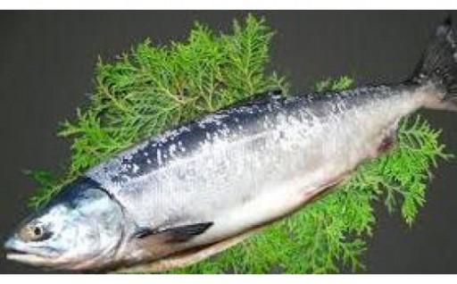知床羅臼のブランド鮭「羅皇(らおう)」