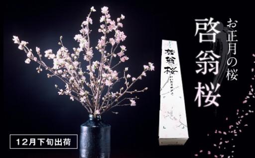 H287 【産地直送】冬に咲く桜「啓翁桜」