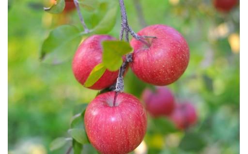 まだまだ在庫あります。りんご