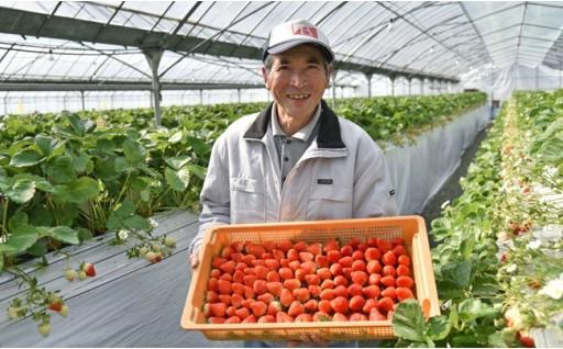 今が旬です! 熊本のイチゴ「ゆうべに」
