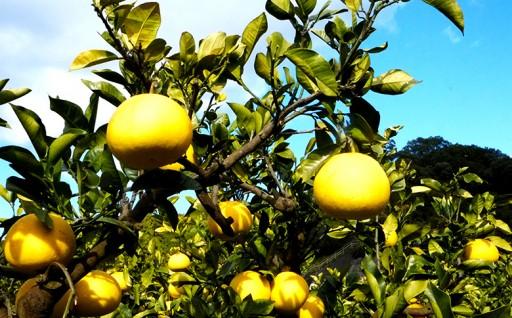 今が旬の大人気柑橘 土佐文旦を緊急追加しました!