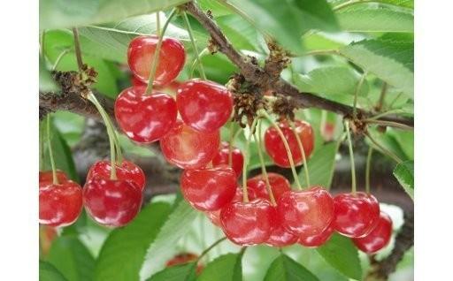 【旬にお届け!】初夏に届く果物の宝石さくらんぼ