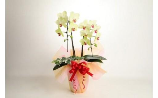 母の日に胡蝶蘭の贈り物を♩